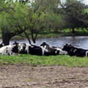 Lazy Cows Art Print