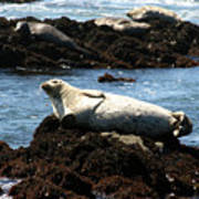 Lazy Seal Art Print