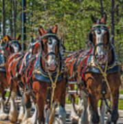 Leading The Way-budweiser Clydesdales Art Print