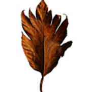 Leaf 0787 Art Print