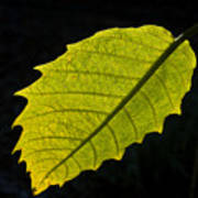 Leaf Aglow Art Print
