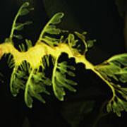 Leafy Sea Dragon Art Print by Paulette Thomas