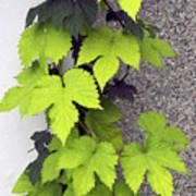 Leafy Vine Art Print