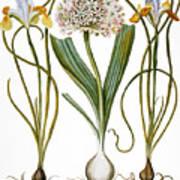 Leek And Irises, 1613 Art Print