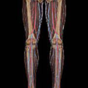 Leg Blood Supply Art Print