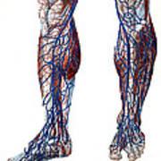 Leg Blood Vessels, Anatomical Art Print
