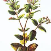 Lehua Ohia Art Art Print
