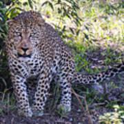 Leopard Front Art Print