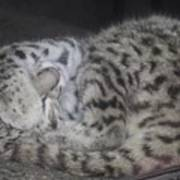 Leopard Kitten Art Print