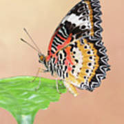 Leopard Lacewing Butterfly #2 V2 Art Print
