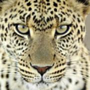 Leopard Panthera Pardus Female Art Print