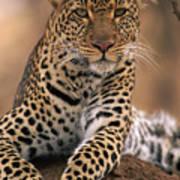 Leopard Panthera Pardus, Masai Mara Art Print by Anup Shah