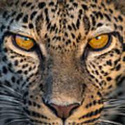 Leopard Panthera Pardus, Ndutu Art Print
