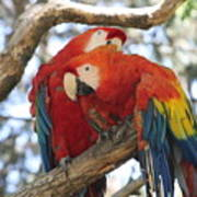Let Me Get It - Scarlet Macaws Art Print