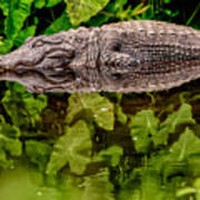 Let Sleeping Gators Lie Art Print