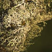 Lichens In Oregon Art Print