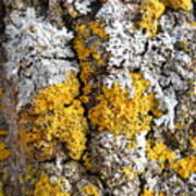 Lichens On Tree Bark Art Print