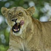 Licking Lion Art Print