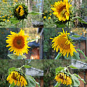 Life Of A Sunflower Art Print