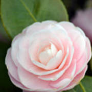 Light Pink Camellia Flower Art Print
