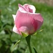Light Pink Rose Close-up Art Print