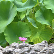 Light Purple Water Lily And Large Green Leaves Art Print