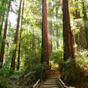 Light The Way - Redwood Forest Of Muir Woods National Monument With Sun Beam. Art Print