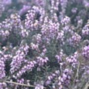 Lilac Bells Art Print