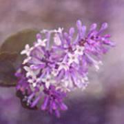 Lilac Blossom Art Print