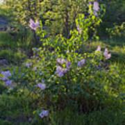 Lilac In Sunshine Art Print