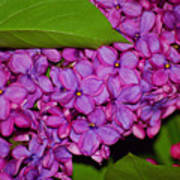 Lilac In The Dark Art Print
