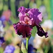Lilac Iris In Bloom Art Print