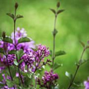 Lilac Memories Art Print