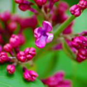 Lilac Opening Art Print