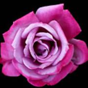 Lilac Rose Art Print