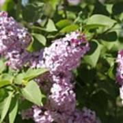 Lilacs 5544 Art Print