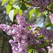 Lilacs 5545 Art Print