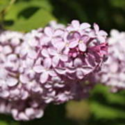 Lilacs 5549 Art Print
