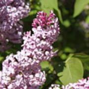 Lilacs 5552 Art Print