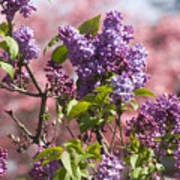 Lilacs And Dogwoods Art Print