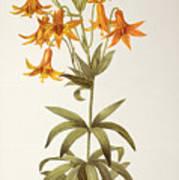 Lilium Penduliflorum Art Print