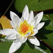 Lily Floating On Pond IIi Art Print