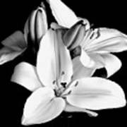 Lily Flower In Black And White Art Print
