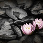 Lily Pad Blossoms Art Print