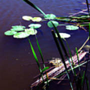 Lily Pads And Reeds Art Print