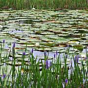 Lily Pond Panorama Art Print