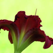 Lily Red On Yellow Green - Daylily Art Print