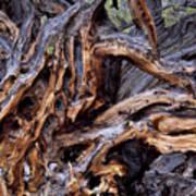Limber Pine Roots Art Print