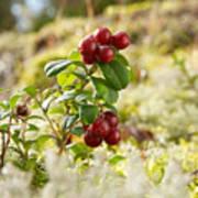 Lingonberries 1 Art Print