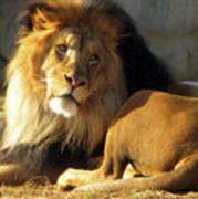 Lion 2 Washington D.c. National Zoo Art Print